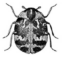 Adult Common Carpet Beetle. Anthrenus sp.